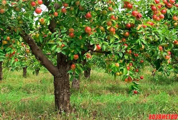 Почему деревья долго не плодоносят
