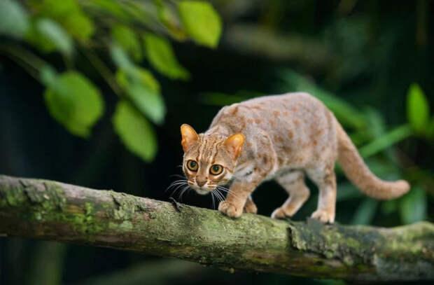 Как выглядят самые маленькие кошки в мире: их всего несколько (ВИДЕО)