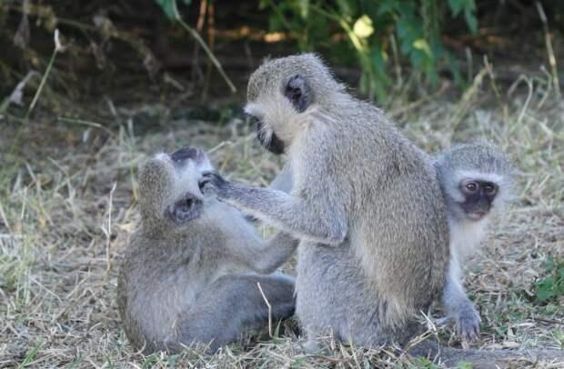 Показано, что обезьяны менее дружелюбны друг к другу, когда борются с инфекцией