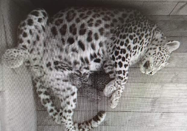 В Центре восстановления леопарда в Сочи родились два котенка