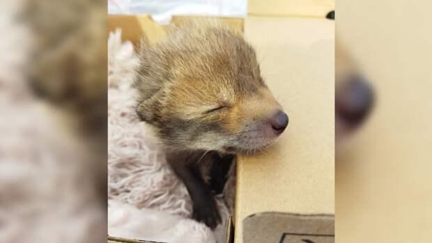 Воронежские зоологи показали семерых новорожденных лисят