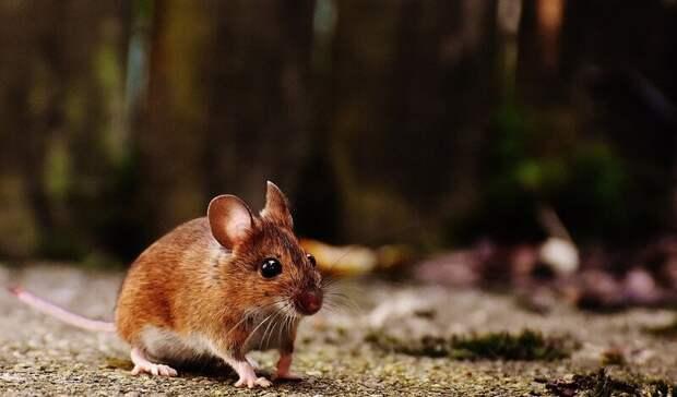 ВБашкирии зафиксировали случаи заражения мышиной лихорадкой