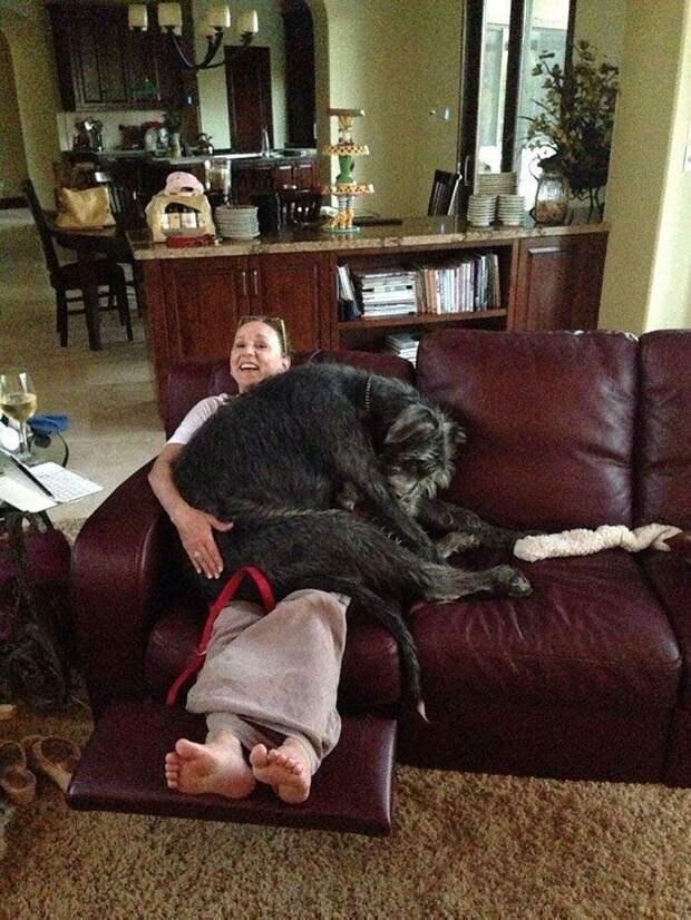 Он чувствует себя болонкой домашний питомец, животные, ирландский волкодав, размер, собака