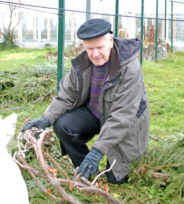 обрезка, обработка и укрытие винограда на зиму в средней полосе