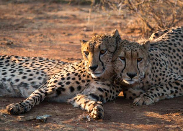 Гепарды отказались охотиться на скот вдали от деревьев для меток