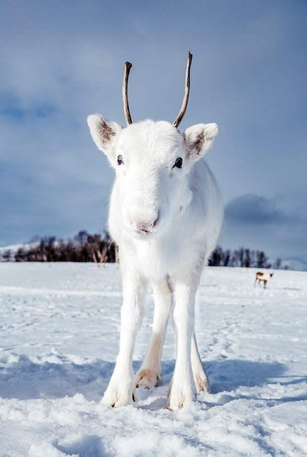 Любопытный олененок подошел к камере, а уже через пару минут из леса вышла его мама животные, норвегия, окрас, олененок, олень, фотография