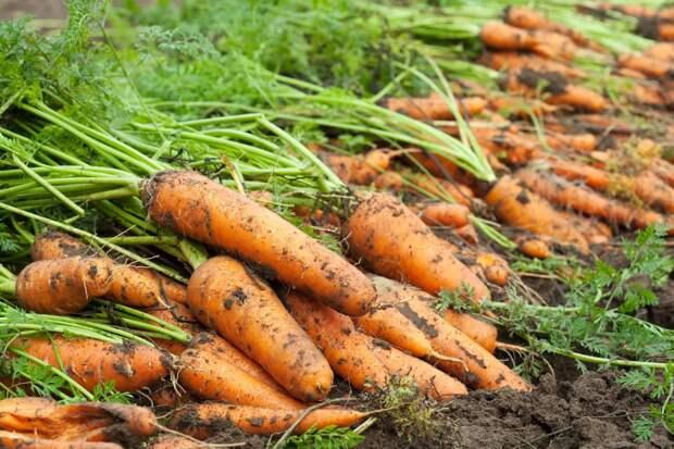 Слабый фиолетовый раствор вырастит крепкую и сочную морковь