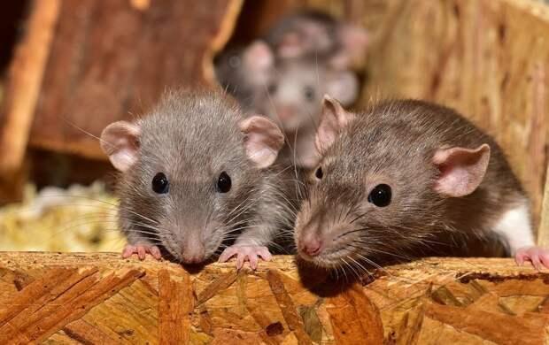 Крысы атакуют исторический центр Петербурга: что делать?