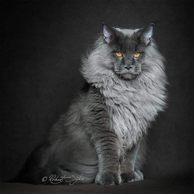 Мейн-кун — комнатный царь зверей