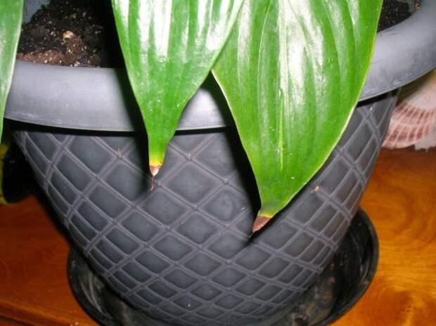 Сохнут кончики листьев Спатифиллюма