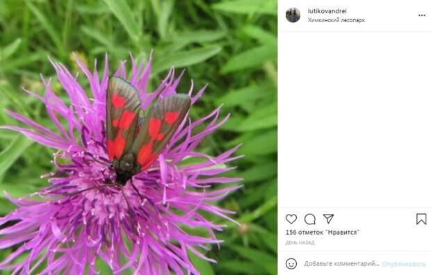 Фото дня: ядовитая бабочка в Химкинском лесопарке