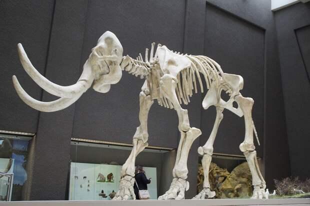 Бивни мамонта нашли при разработке угольного месторождения в Кузбассе