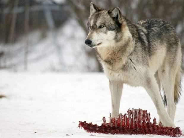 Волки – стражи сибирского леса