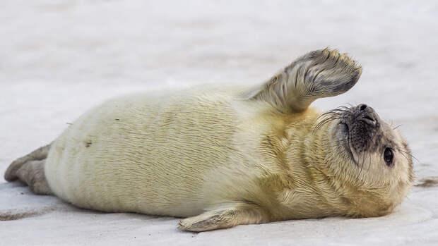 На берегу Финского залива спасли еще одного тюлененка