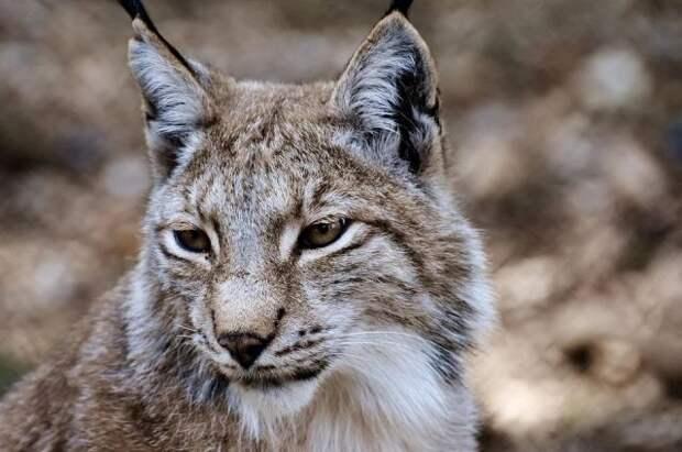 В США спасли рысь, застрявшую на столбе