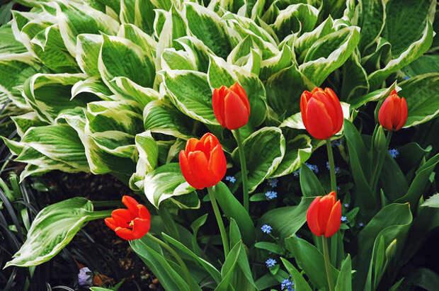 Разросшиеся хосты скроют поникшую листву тюльпанов
