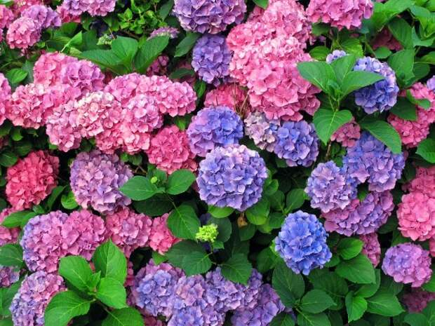 colorful hydrangeas - horizontally