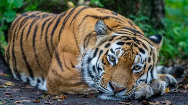 Водитель лесовоза запечатлел встречу с амурским тигром в Приморье