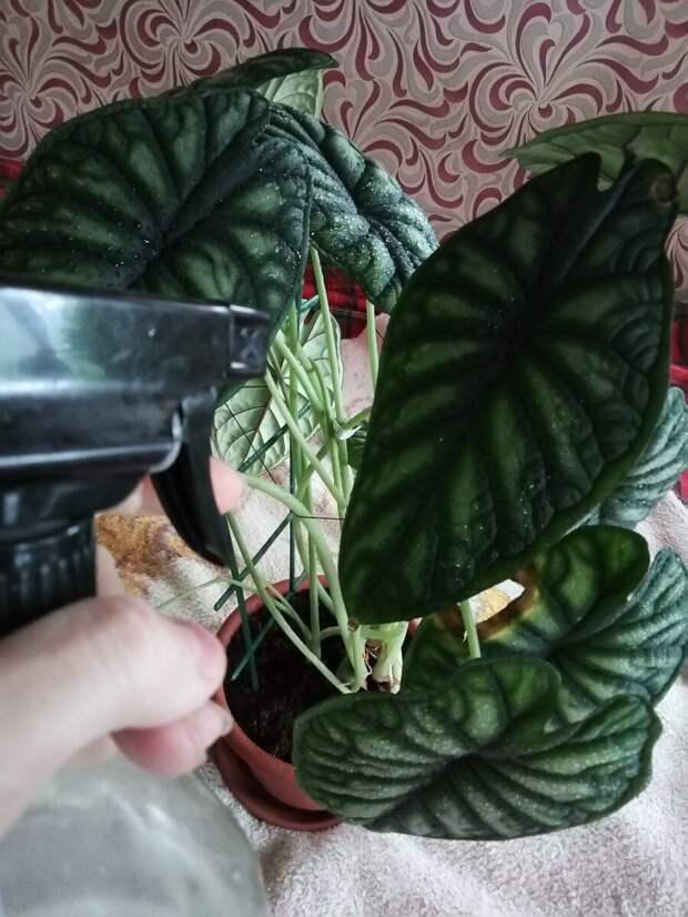 Янтарная кислота как скорая помощь для растений. И не надо мудрить с дозировками, там все просто
