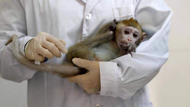 Китай столкнулся с нехваткой обезьян для опытов