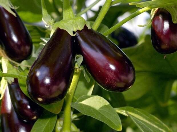 Как посадить баклажан