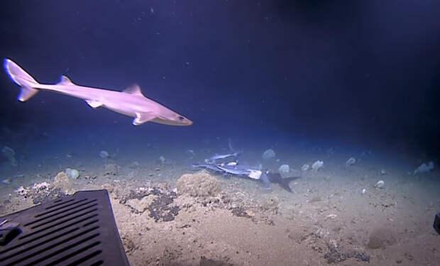 Ученые спустились на батискафе на дно и случайно сняли на видео, как рыба проглотила акулу целиком