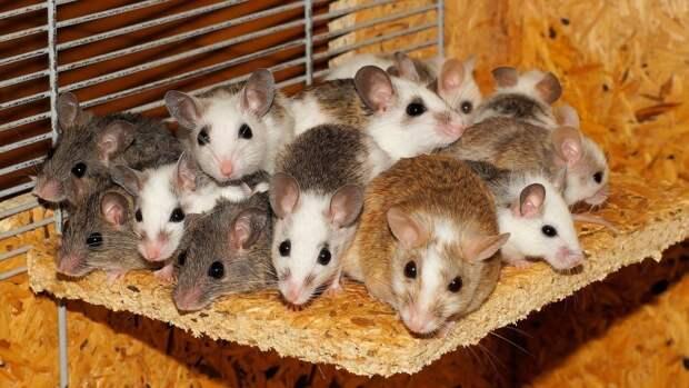Мыши помогли ученым раскрыть природу любопытства