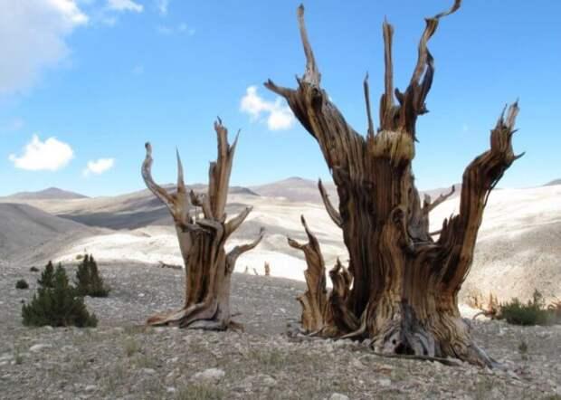 5 самых старых деревьев России