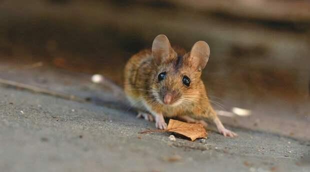 Заболеваемость мышиной лихорадкой рекордно снизилась в России во время пандемии