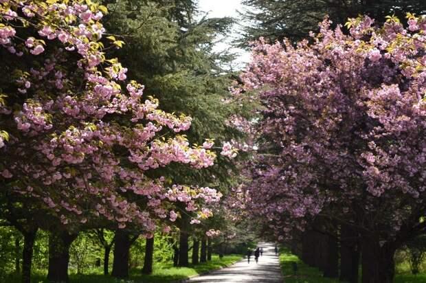 Ботанический сад КФУ приглашает на День открытых дверей и цветение сакуры