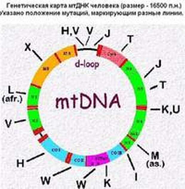 О митохондриальной Еве и генетическом разнообразии современного человечества