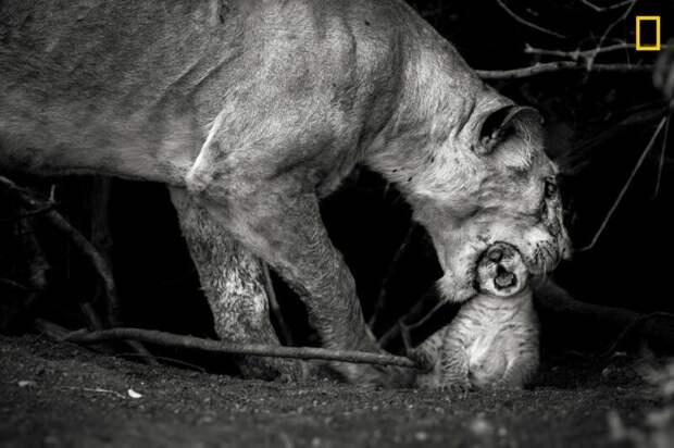 Львица с детенышем в заповеднике Масаи-Мара, Кения (Фото: Соналини Кетрапал) national geographic, животные, конкурс, конкурсант, путешествие, фотография, фотомир