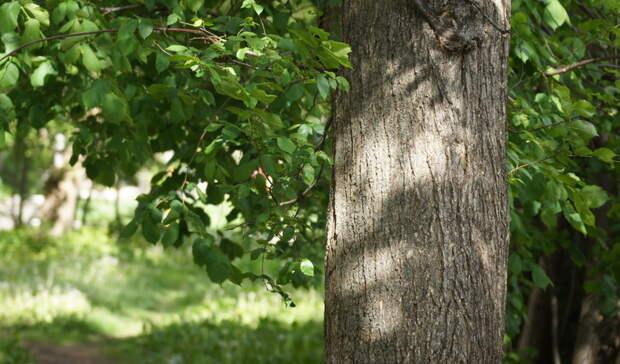 Следователи проверят информацию о падении дерева рядом с детьми в Глазове