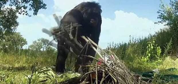 Удалось запечатлеть, как шимпанзе развел костер и приготовил десерт