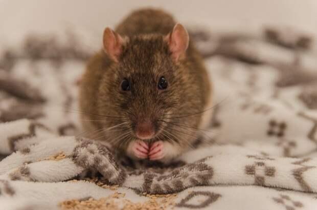 В Камбодже крысе вручили медаль за храбрость при разминировании территории