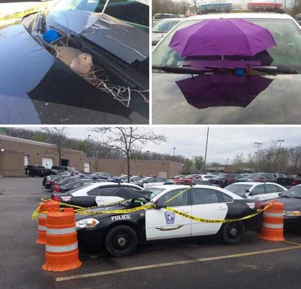 Птица свила гнездо на полицейской машине. Тогда полицейские прикрыли ее от ветра и дождя зонтом и оставили машину на огороженной стоянке, чтобы гнездо никто не побеспокоил  Счастливый конец, животные, спасение