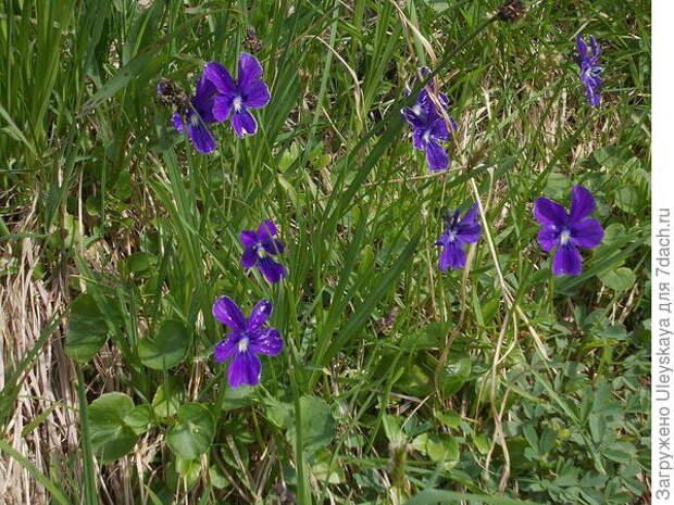 Фиалка алтайская. Фото с сайта species.wikimedia.org