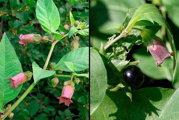 Красавка цветет с июня по сентябрь, плодоносит с июля по сентябрь