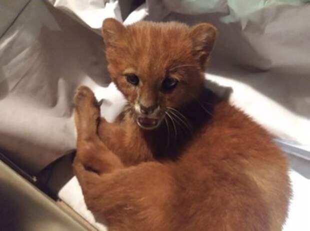 Женщина спасла осиротевшего котенка. Но аппетит и активность детеныша вселили в нее сомнение