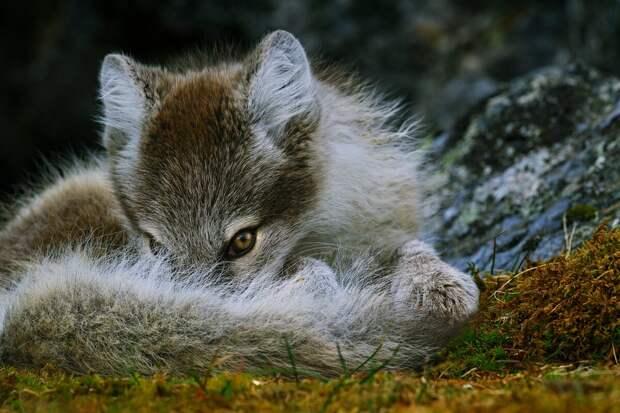 Песец – один из символов Арктики. Песцы, населяющие материк, зимой белые, а летом бурые. Самым крепким и красивым мех бывает во второй половине зимы © Анна Яценко