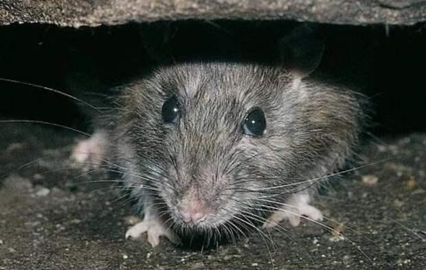 Крыса отняла у кота модный GPS-трекер и устроила безумное ралли