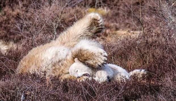 Сотрудники зоопарка составили список подходящих имен для детеныша, голосование будет проводиться в соцсетях великобритания, детеныш, животные, медвежонок, пол, полярный медведь, шотландия