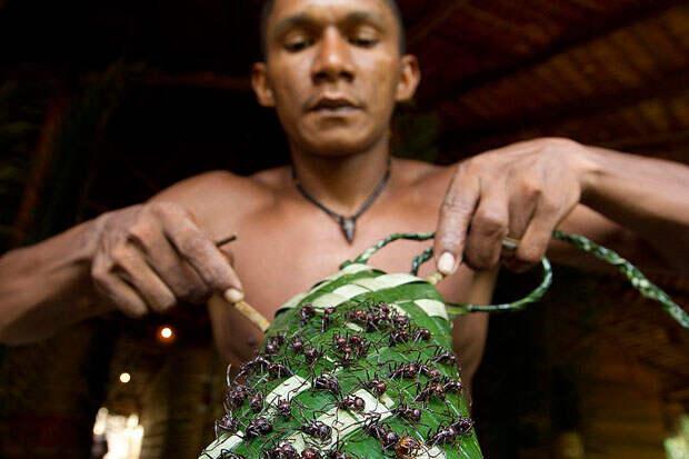 Индейцы бразильской Амазонии проходят испытание муравьями