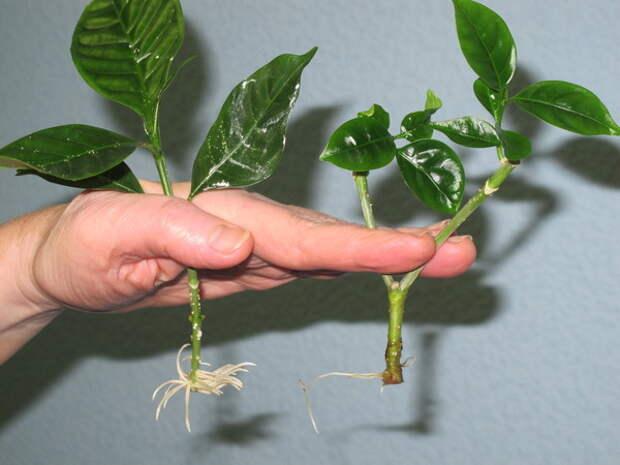 Все тонкости зеленого черенкования с корневином