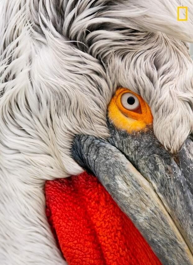 Пеликан на озере Керкини, Греция (Фото: Дамилис Мансур) national geographic, животные, конкурс, конкурсант, путешествие, фотография, фотомир