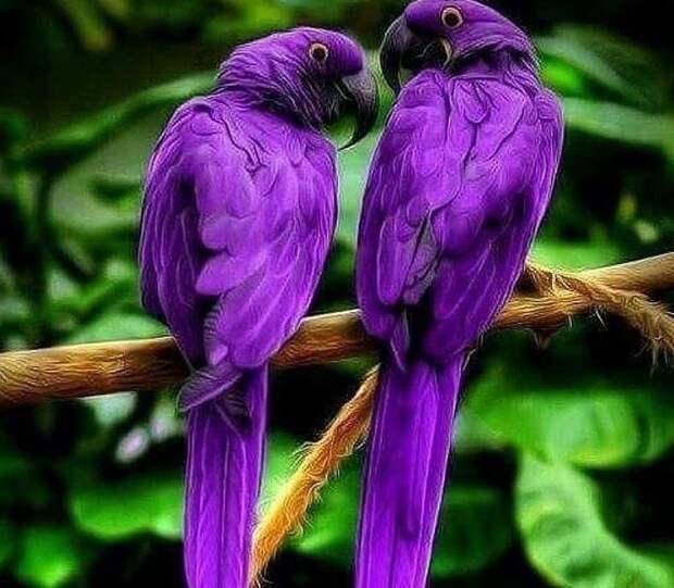 Гиацинтовый ара — чудо природы!
