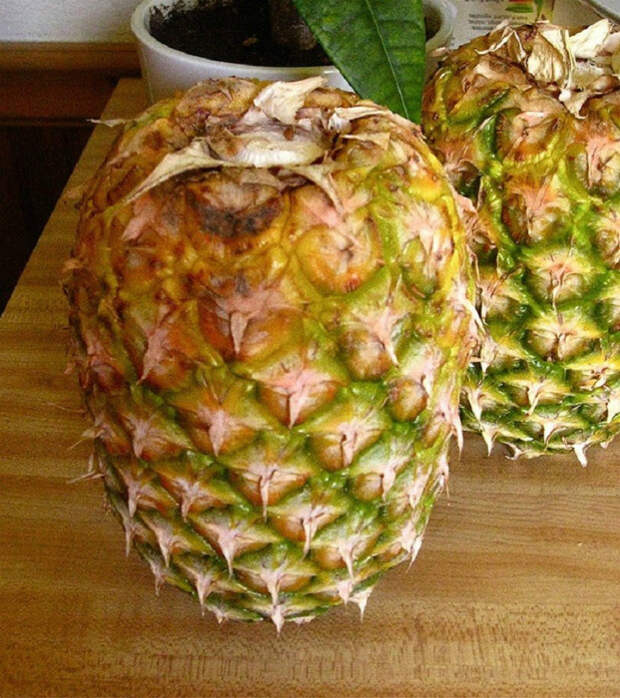 Недозревшие ананасы.   Фото: wnews.site.