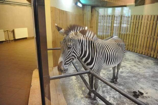 Двух зебр привезли в Московский зоопарк из Чехии
