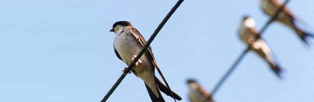 Почему птицы не погибают, когда сидят на линиях электропередач?
