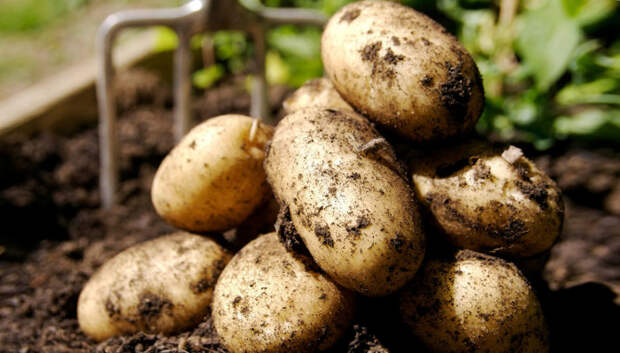 Заботимся о картофеле. / Фото: ogorodnik.net.